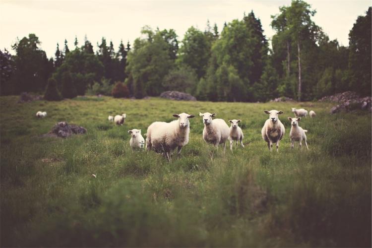 sheep-pasture